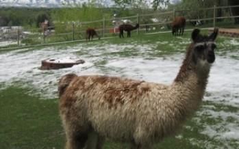 Llama Manure and Composting; video